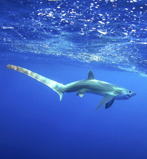 Thresher Shark - would you just look at that length of that tail... easy to see where their name came from... ;-)