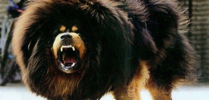 Top 15 Most Dangerous Dog Breeds In The World Science