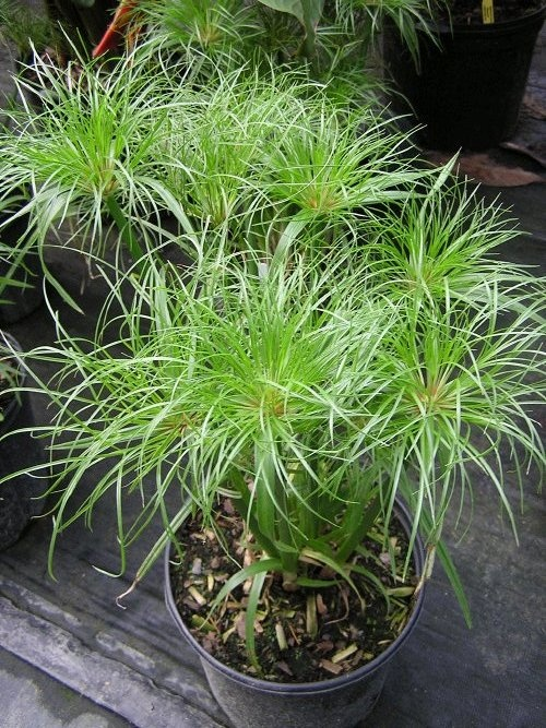 "Cyperus papyrus 'King Tut"".  This dwarf giant papyrus grows to only 2 - 3 feet tall, and is perfect for a small pond.  It likes sun or shade, and is hardy to zone 9 or higher.  In colder areas, it will winter in the home."