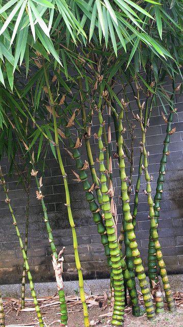 Bambusa ventricosa McClure (Buddha's Belly Bamboo) by guzhengman, via Flickr