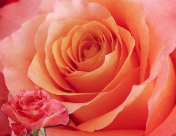 this one here is a FREESPIRIT ! #roses #orange #pink