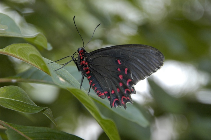 butterfly conservatory niagara falls ontario butterfly. Black Bedroom Furniture Sets. Home Design Ideas