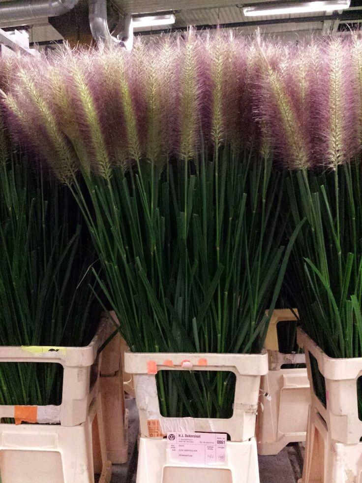 #Pennisetum 100cm; Available at www.barendsen.nl
