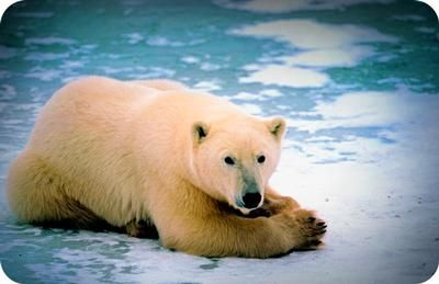Symbolic Polar Bear Meaning: My question is about polar bear meaning.  My daughter passed away last summer.  It has been very hard living without her.  She loved polar bears.  Her
