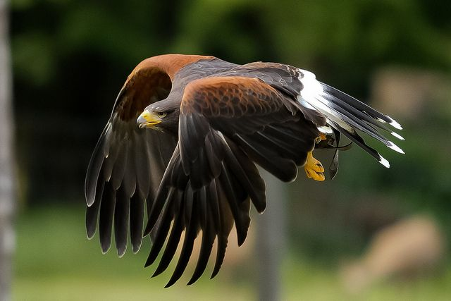 Harris hawk held one of these once cor they are heavy alright