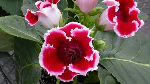 Siningia o Gloxinia - Una Flor de hojas aterciopeladas