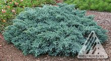 Juniperus squamata ' Blue Star ' Flaky Juniper
