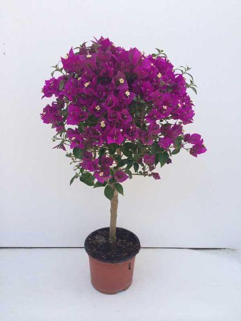 buganvília em vaso