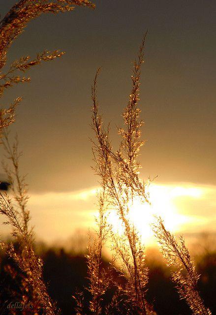 Golden grass by Della Fels