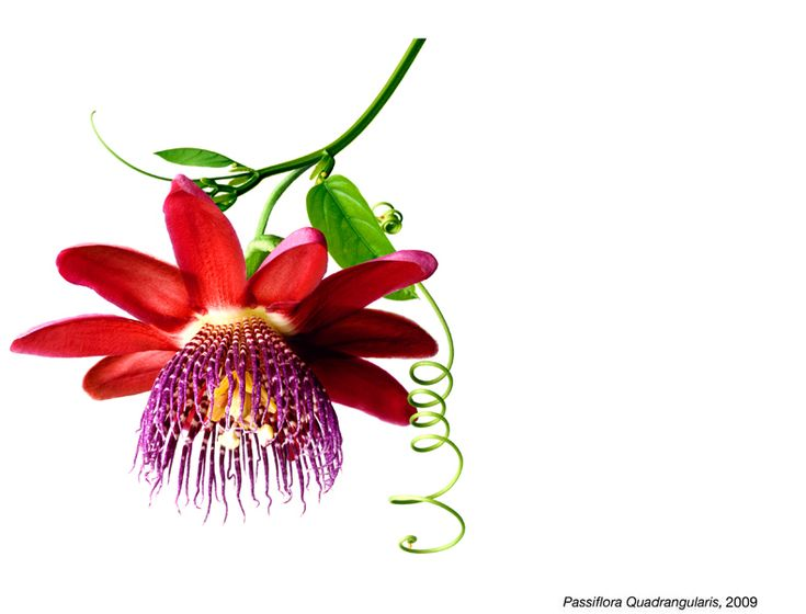 Passiflora Quadrangularis