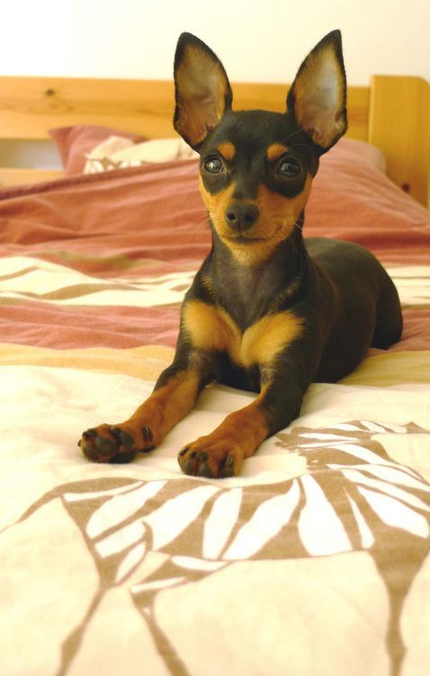 Miniature pinscher - looks just like what Zo probably did when she was a puppy!: Min Pins, Minpin S, Mini Pinchers, Min Pin Dogs, Min Pin Puppies, Mini Pinschers, Miniature Pinscher Mix, Miniature Pinschers