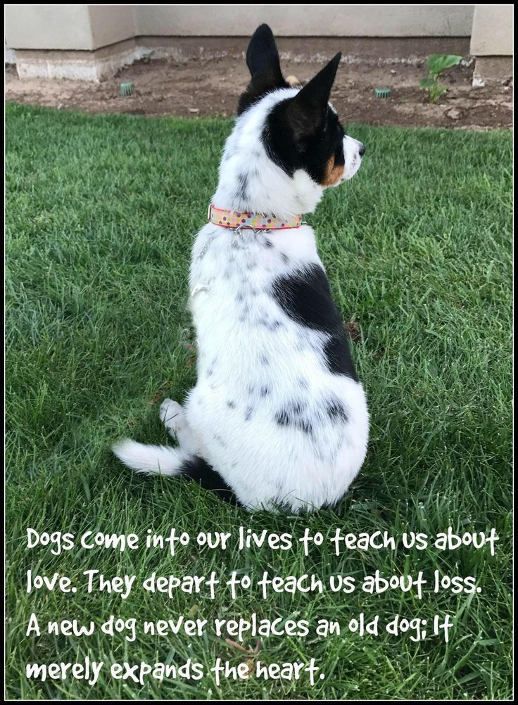 Australian cattle dog, heeler, cattle dog mix, losing a pet quotes