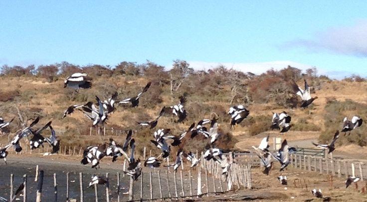 Caiquenes al vuelo. Estancia El Trébol.  Isla Riesco ,Punta Arenas. Chile