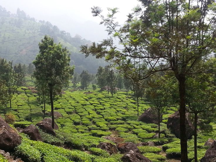 Tea plantation, Munar