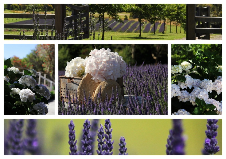 Red Hill Lavender Farm & Distillery, we love this location in the center of the Mornington Peninsular.