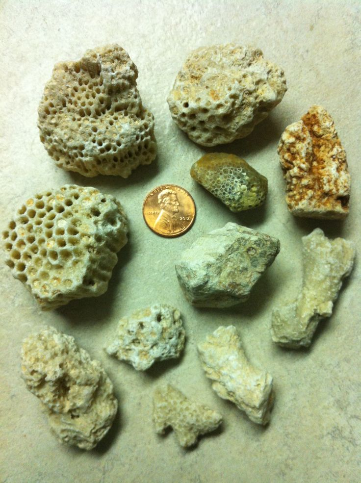 Petrified corals found in Louisiana | Rockhounding ...