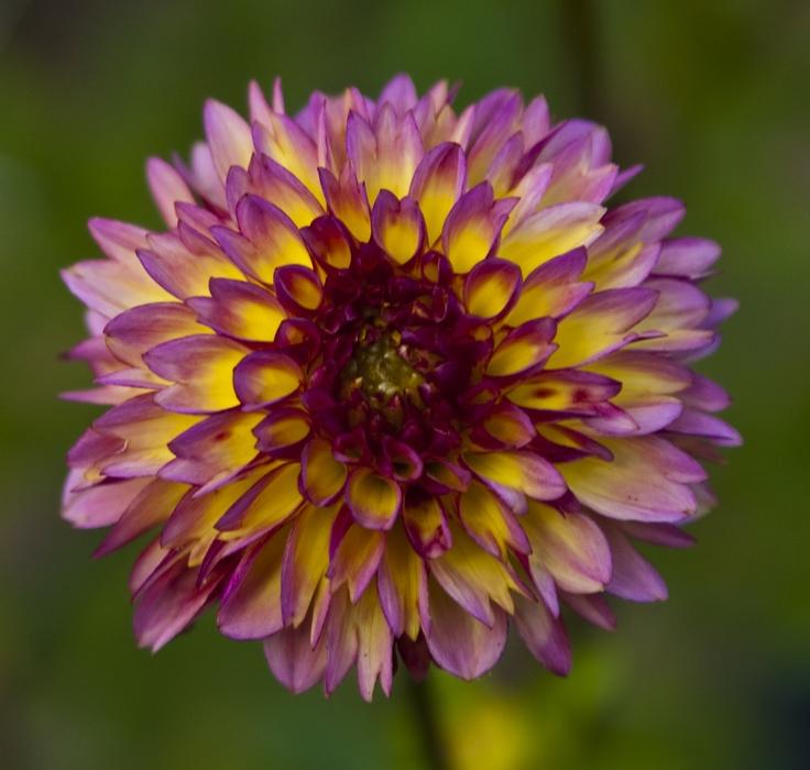 yellow dahlia flower - photo #17