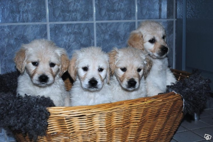 Golden Retriever valpar Cute puppies who look angry...:)