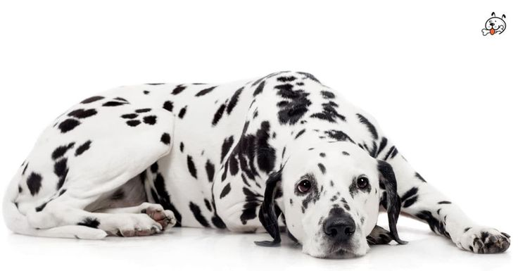 Today let's read about our dappled #Dalmatian Puppies! Click & read now: http://puppies4all.com/dalmatian-puppies-for-sale/  #dog #cute #puppy