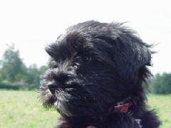 Tibetaanse Terrier – Rassen - Hondenplaza