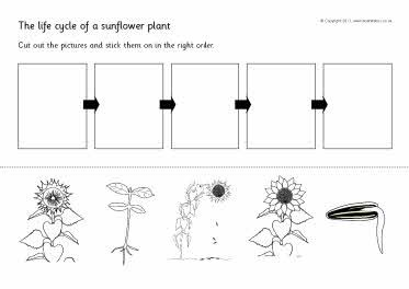Sunflower Plant Life Cycle Diagram 1995 Ford Ranger Ignition Wiring Cut And Stick Sb4468 Sparklebox Garden Plants Pinterest Cycles Science