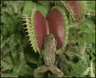 Venus Fly Trap at its best