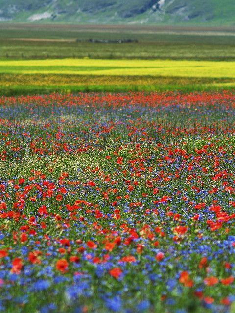June Bloom Event, Castelluccio di Norcia, Province of Perugia , Umbria region. Italy