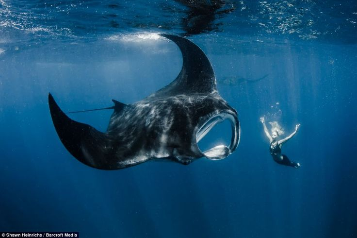 The larger species of manta ray, Manta birostris, can grow to a width of more than 20 feet and can weigh more than a tonne #underwater #sealife