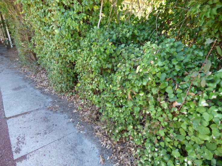 These hedges look great but they are difficult for inspectors to work with looking for termites.