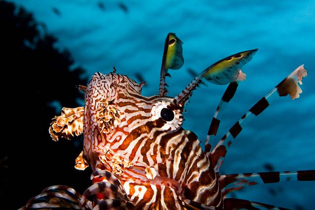 photo by Alin Miu #lionfish #underwaterphotography #reef #redsea