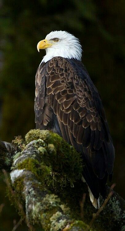 The Bald Eagle is important in variousNative Americancultures and, as thenational birdof theUnited States, is prominent in seals and logos, coinage, postage stamps, and other items relating to theU.S. federal government. || Beautiful photo of a North American Bald Eagle :-)