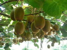 Growing Kiwi Fruit in your garden...really not that hard! (1st year our kiwis are growing! Excited!!!)