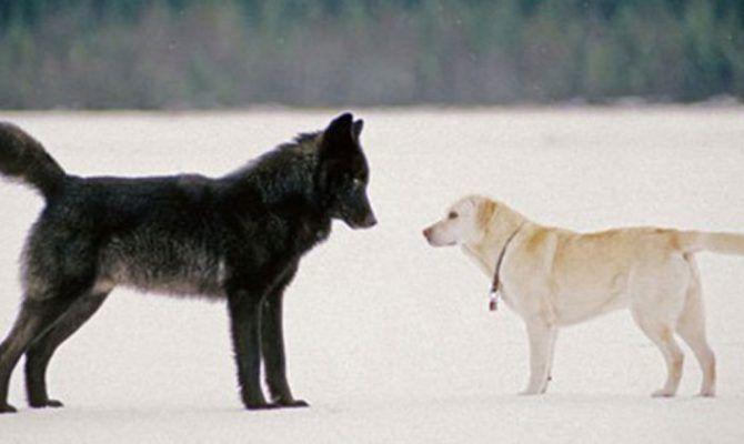 Η ΜΟΝΑΞΙΑ ΤΗΣ ΑΛΗΘΕΙΑΣ: Κοιτούσε αβοήθητος καθώς ο Λύκος πλησίαζε τον Σκύλ...