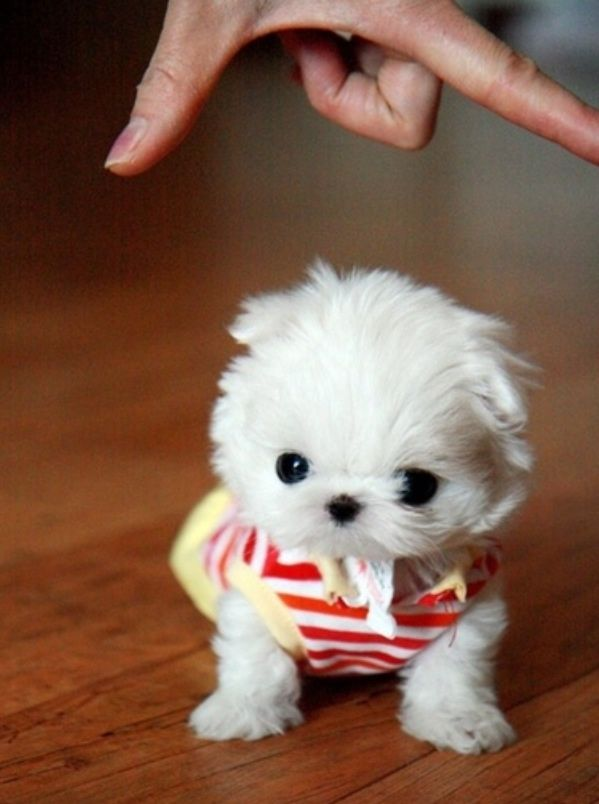 12 best images about puppys on Pinterest | Puppys, Tea cups and ...