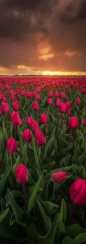Beautiful classic red tulips during a stormy day in the Netherlands. #by Albert Dros #sky sunset clouds landscape nature amazing