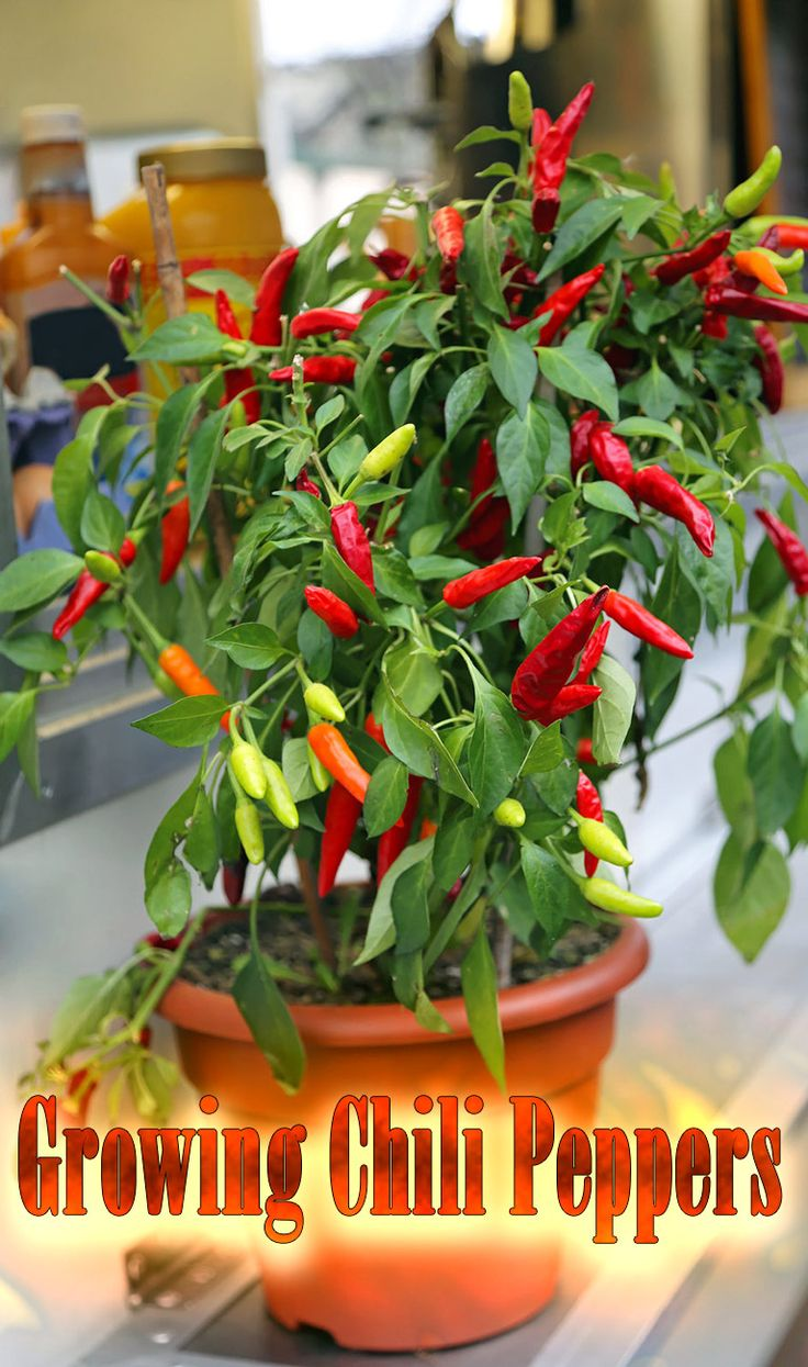 Growing Chili Peppers: Chilies are not the easiest plants to grow, but if you can master their cultivation you will have grown a crop that is packed full...
