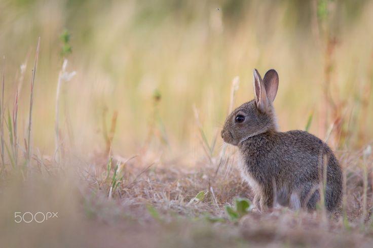 Lapin - Dans les hautes herbes un lapin de garenne