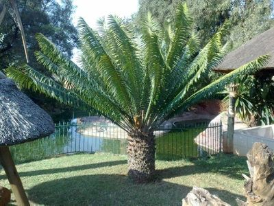 Encephalartos_paucidentatus_files/image.jpg.