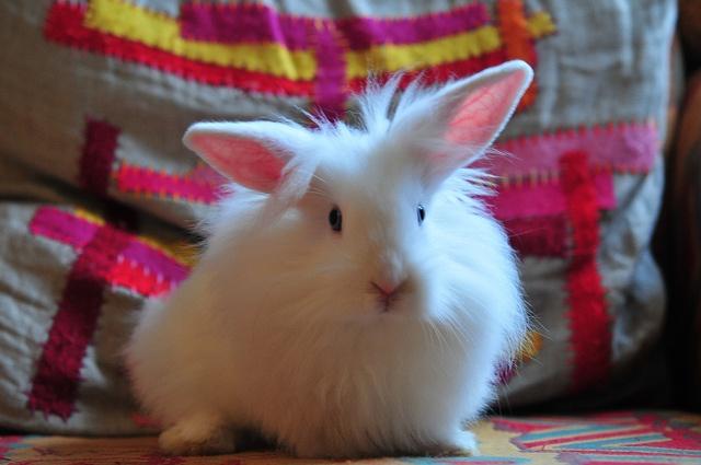 Via: julochka on Flickr: Fluffy Bunnies, Rabbit Rules, Pet Bunnies Rabbit, Furry Creatures,  Angora Rabbit, Beauty Things, Furry Things, Photo Op, Animal