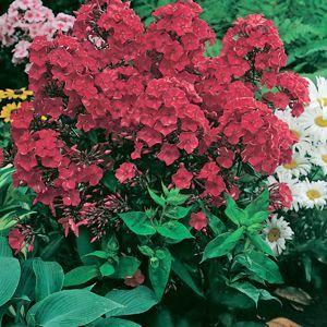 Phlox paniculata 'Red Magic' (Phlox Tall Garden)