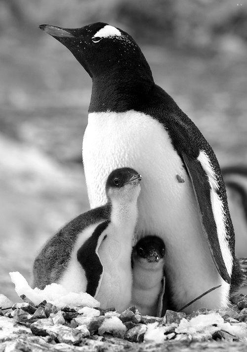 Babies........................... penguins................