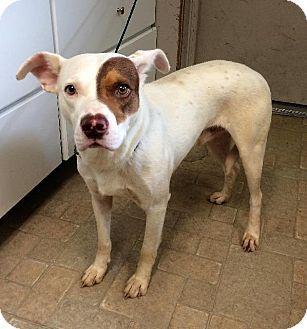 Angola, IN - Labrador Retriever Mix. Meet Boss, a dog for adoption. http://www.adoptapet.com/pet/18518231-angola-indiana-labrador-retriever-mix