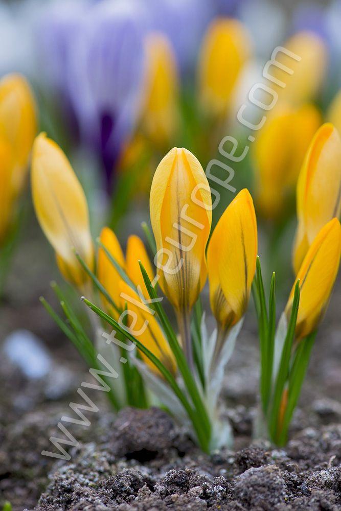 Pierwsze Oznaki Wiosny Sa Juz Widoczne W Przyrodzie Niewatpliwie Jedna Z Nich Jest Zakwitniecie Krokusow Plants