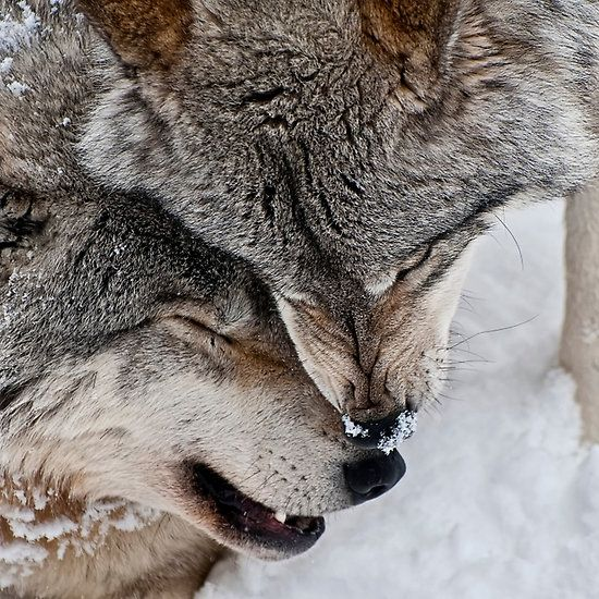 Timber Wolves STOP KILLING WOLVES !