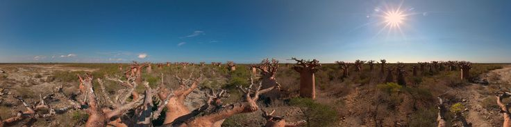 This panorama was take on top of a Baobab near Andavadoaka. It was easy to get up the tree because some people made holes in the bole. The madagasan legend about the Baobobs is very nice: In earlier times the trees could walk around. The Baobab were the biggest and strongest and so they began to kill the little trees around them. When god saw this he get angry and took the Baobabs and put them with the wrong side in the earth. That´s why they ...