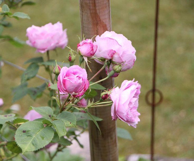 Happy Mothersday! - Bourbon Queen - antique rose from Jette's garden #bourbonqueen #antiqueroses #jettesgarden #gardenvisits #garden #gardening #roses #jettefrölich #jettefroelich #jettefrölichdesign #jettefroelichdesign #danishdesign #scandinaviandesign #gardendesign