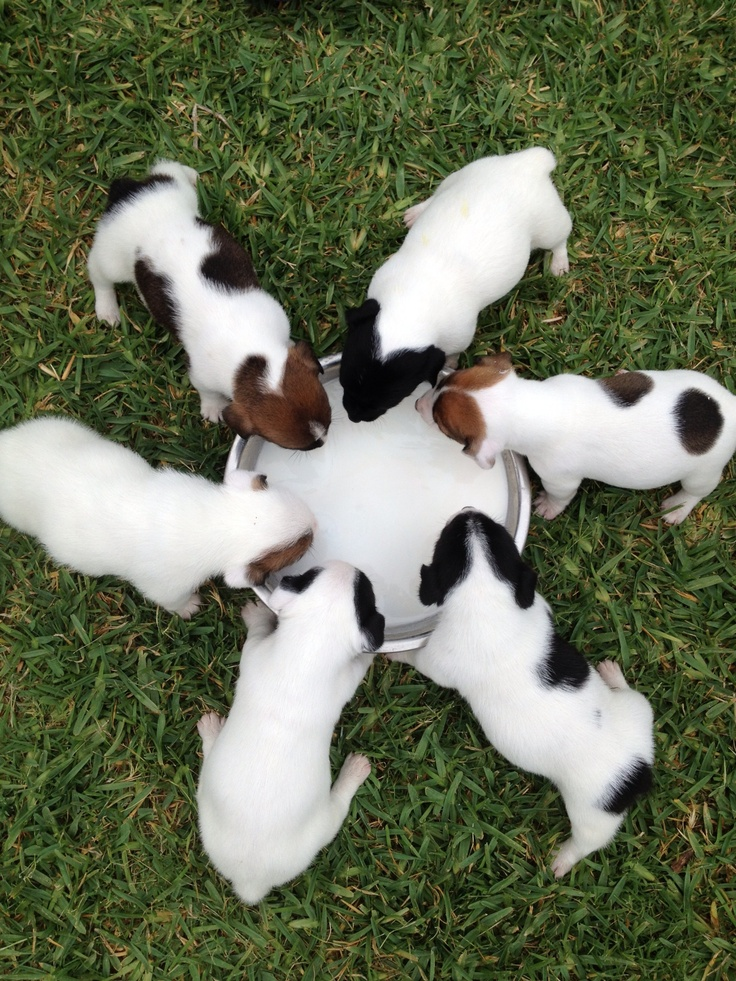 """Jack Russell """"shorties"""" puppies"""