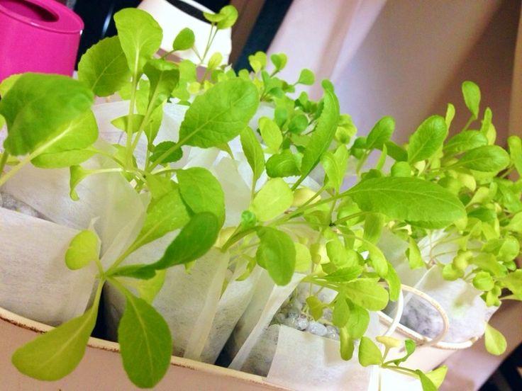 【nanapi】 節約のために気軽にお野菜を育ててみたいけど、不衛生になったり虫と格闘するのがイヤ!という人も多いのではないでしょうか?でも園芸用のプランターは、安いものだと可愛くないし土は管理が面倒だし…なかなか思うようにはいかないもの。実は、土を使わず、穴のあいていない容器でもかんたんに野菜を栽...