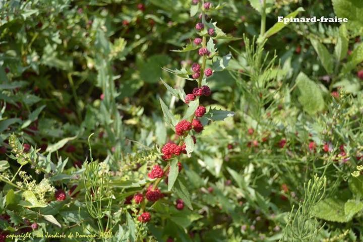 Pin by savonnerie paysanne on l gumes anciens et ou - Comment cuisiner les feuilles de betterave rouge ...
