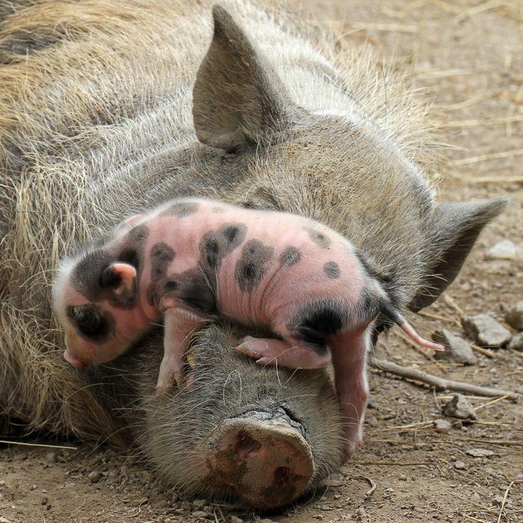 Baby and mama pig